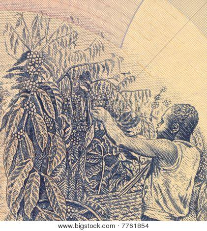 UGANDA - CIRCA 1983: Coffee Harvesting