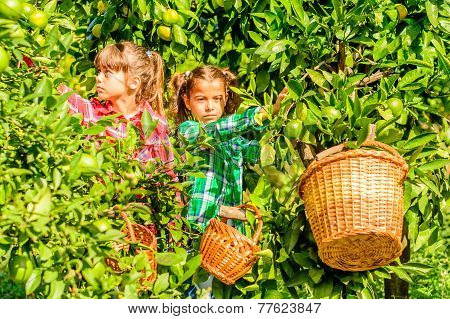 Seven year old girls  picking clementines from her garden
