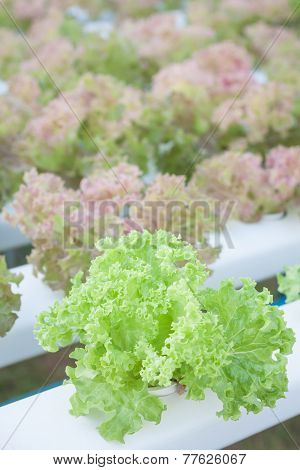 Green Coral And Red Coral Plants On Hydrophonic Farm