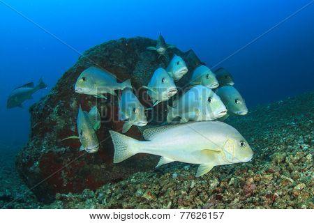 School of Silver Sweetlips fish underwater