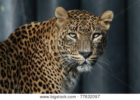 Sri Lankan leopard (Panthera pardus kotiya), also known as the Ceylon Leopard.