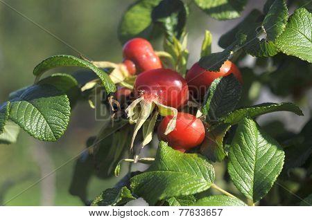 Ripe Fruits Of A Rose Wrinkled (dogrose).