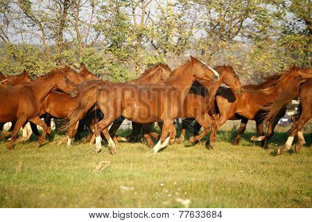 .batch Of Beautiful Horses Running Across On Pasturage