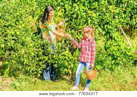 Mother and her Daughter  picking Clementine