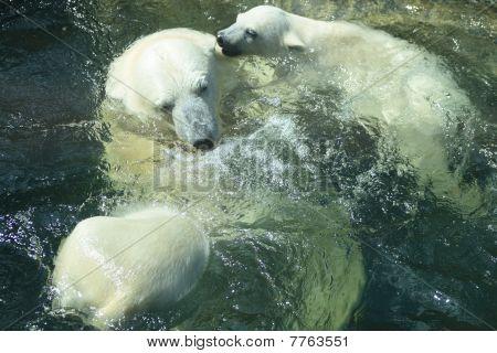 Polar Bears Bathing