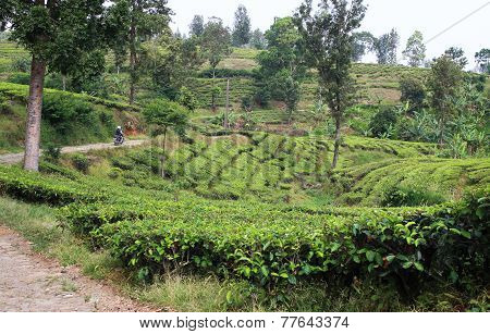 Road In Tea Plantation
