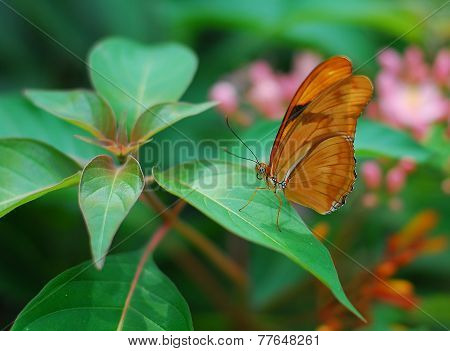 Brown Longwing Butterfly Insect