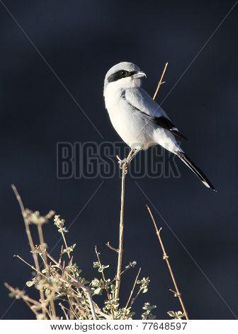 Loggerhead Shrike - Lanius ludovicianus