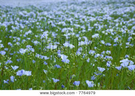 Blue Flax Field