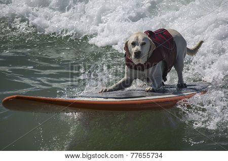 Yellow Lab surfing