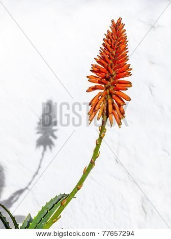 Beautiful Aloe Vera Flower