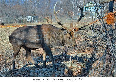 Deer In Net