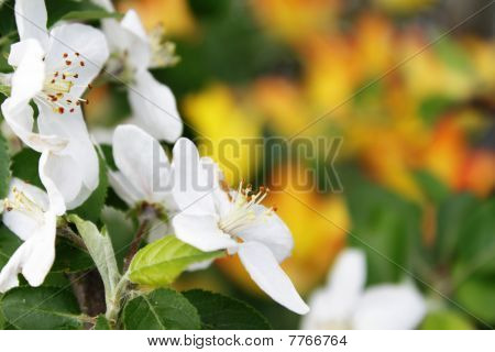 Apple Tree Flowers Over Yellow Background