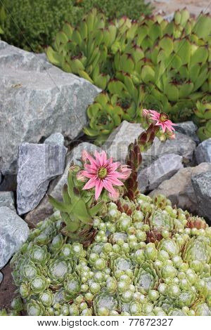 Succulents rejuvenated blooming in the garden