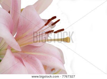 A Macro Close Up Of A Beautiful Pink Lily
