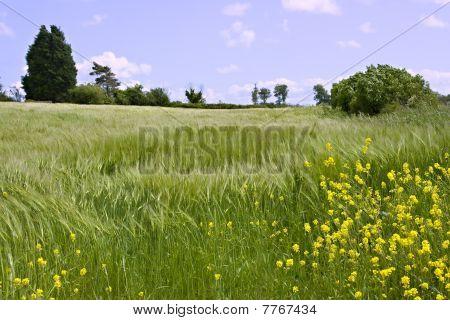 A Shallow Focus View Of An Unripe Wheatfield