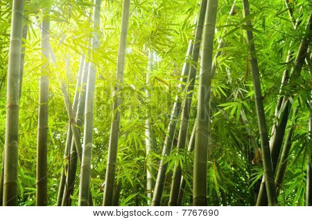 Bamboo Forest With Ray Of Lights