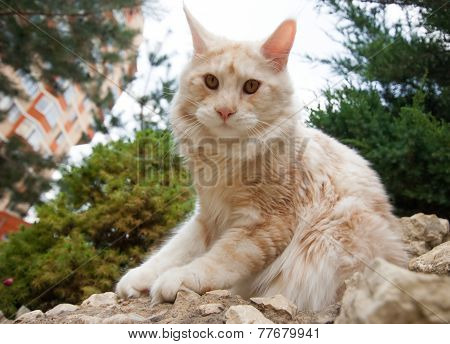 Maine Coon In Wide Angle View