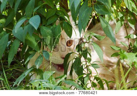 Maine Coon Hiding