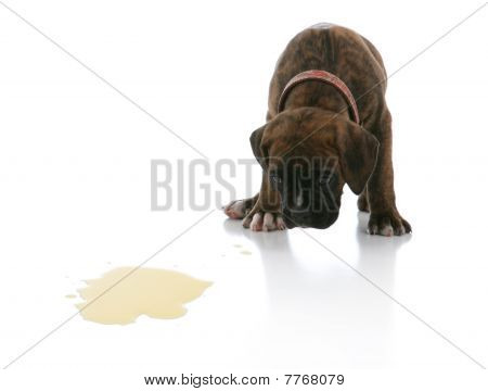 Sad Brindle Boxer Puppy Potty Accident Spot