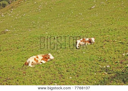 Two Cows Lying On The Grass Top View