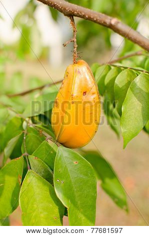 Star Apple Fruit