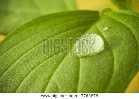 Leaf water drop.