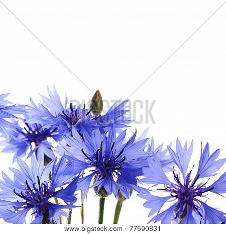 The Beautiful Cornflower Isolated On White
