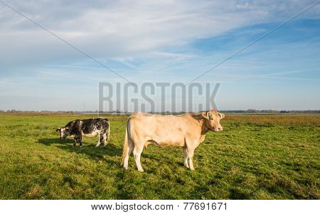 Two Cows Standing In A Meadow