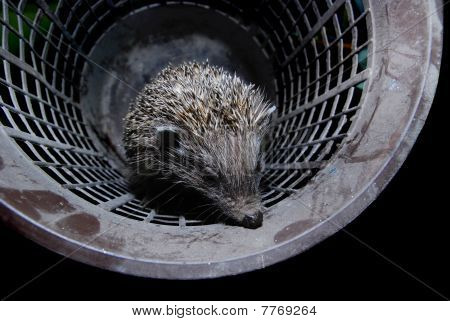 hedgehog in bucket