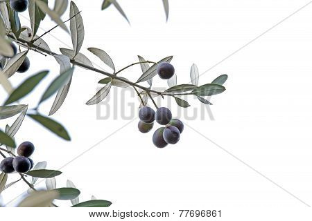 Sprig With Black Olives Isolated On White Background