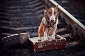 foto of dog-house  - The bull terrier looks for the house - JPG