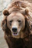 picture of bear  - Female Kamchatka brown bear  - JPG