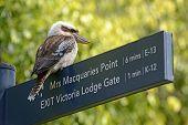 picture of kookaburra  - Australian Kookaburra bird in Sydney Botanic Gardens - JPG