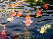 stock photo of koi fish  - Diverse group of Japanese Koi fish swim - JPG