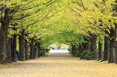 ������, ������: Beautiful Ginkgo Along The Lenght Of The Street