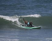 picture of chocolate lab  - Chocolate Labrador Retriever catching a wave surfing at the beach - JPG