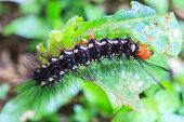stock photo of caterpillar  - black caterpillar close up caterpillar in nature - JPG