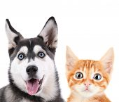 picture of husky  - Little red kitten and  husky puppy isolated on white - JPG
