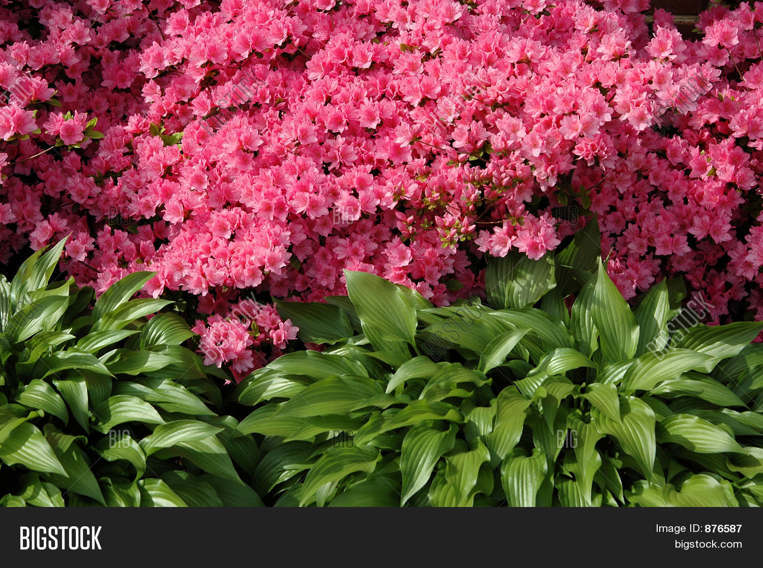 Flowering azalea bush image photo bigstock for Arbustos para jardin