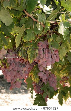 Red grapes on the vine, Spain.
