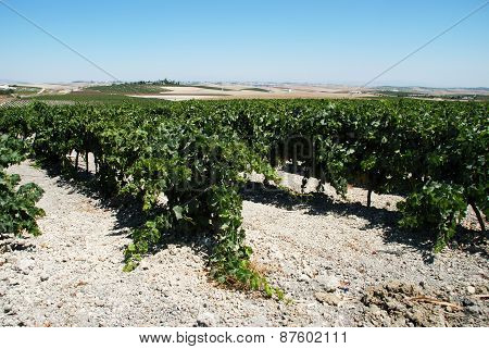 Rows of Grapevines, Jerez de la Frontera.