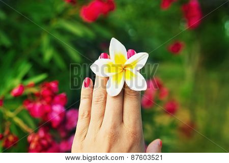 Woman hand with beautiful Frangipani flower between fingers.