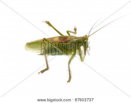 Locust Isolated