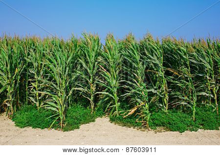 A green field of corn growing up.