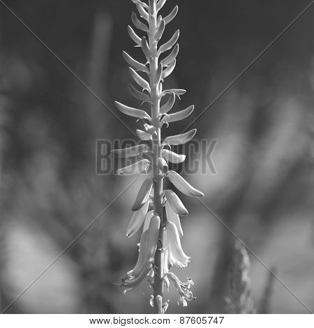 An abstract nature background of a wild flower. Black and white image.