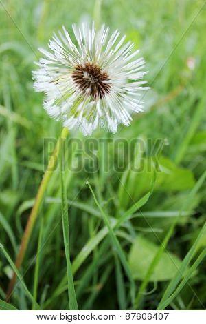 Fluffy Wet Dandelion