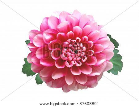 Pink Autumn Chrysanthemum Isolated On White