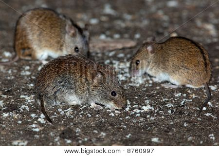 Bank Vole & Striped Field Mouse