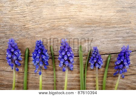 Small Grape Hyacinth On Rustic Wood